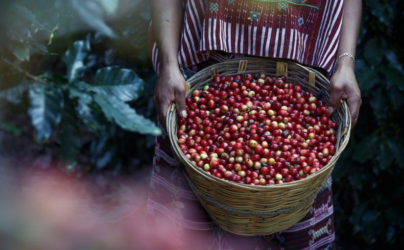 kawa w ziarnach arabica